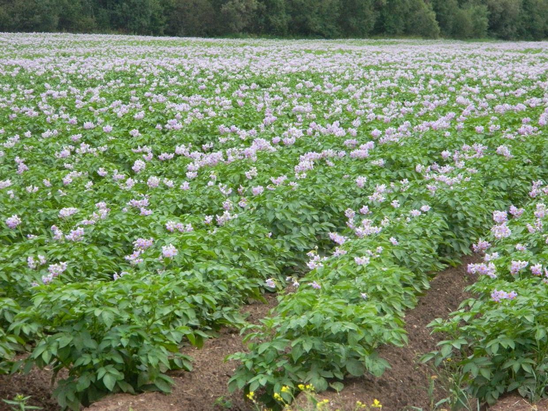 Картошка технология выращивания 91